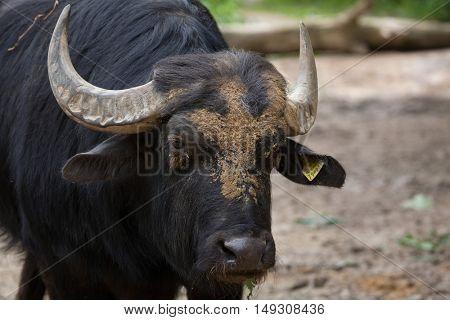 Asian water buffalo (Bubalus bubalis), also known as the domestic water buffalo. Domestic animal.