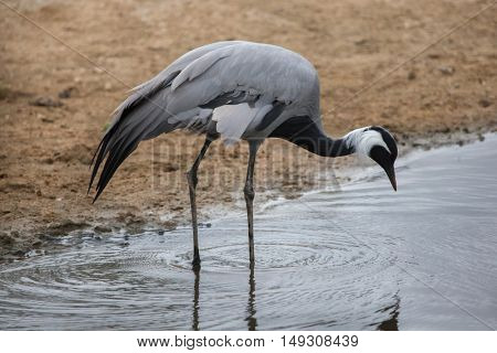Demoiselle crane (Anthropoides virgo), also known as the blue crane. Wildlife animal.