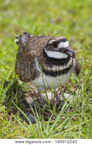 Killdeer warning the photographer away from its nest and eggs