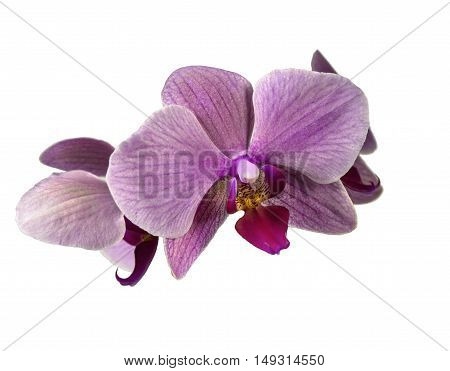 Orchid flower purple on a white background.