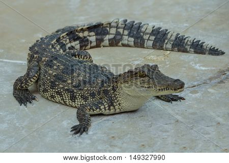 Freshwater crocodile or alligator or crocodile swamp freshwater species are native to Thailand in Vietnam Cambodia Laos Thailand Kalimantan Java and Sumatra is quite a big way medium sized crocodile.