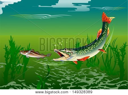huge pike attacks small fish vector and illustration