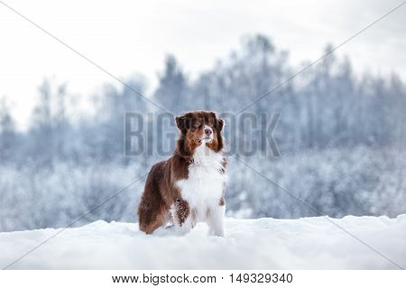 Dog breed Australian Shepherd Aussie walking in winter forest