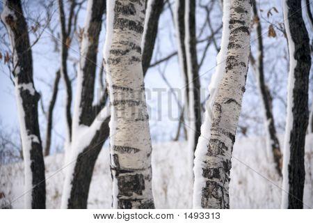 Birches At Winter Forest