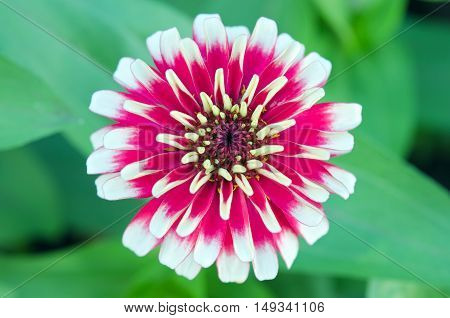 White And Red Hybrid Aster Flower In Bangkok Thailand Top View