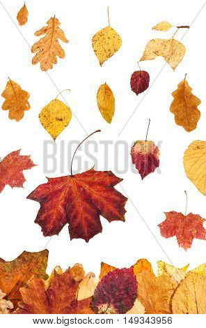 Many Autumn Leaves Falling On Leaf Litter