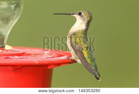 Female Ruby-throated Hummingbird (archilochus colubris) perched with a green background