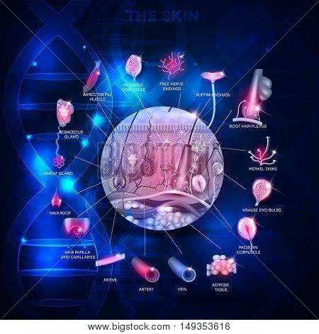 Skin anatomy structure in the round shape on a scientific blue background detailed illustration poster