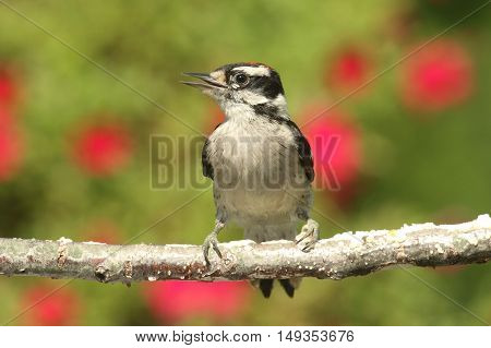 Juvenile Downy Woodpecker (Picoides pubescens) on a perch with flowers in the background