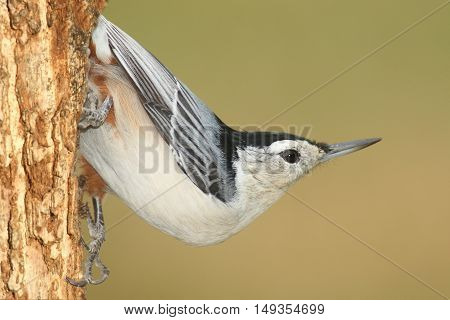 White-breasted Nuthatch (sitta carolinensis) on a tree trunk with a green background