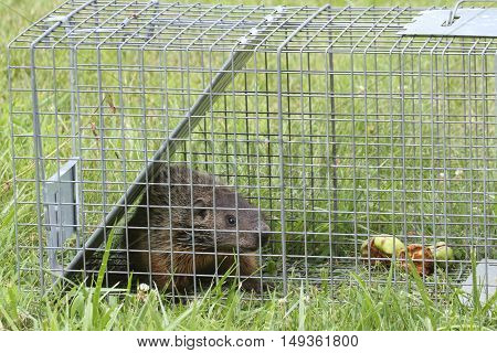 Groundhog (Marmota monax) also known as a Woodchuck caught in a live trap