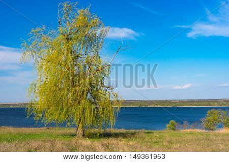 Lonely weeping willow tree against blue cloudless sky on a Dnepr riverside in central Ukraine at spring season