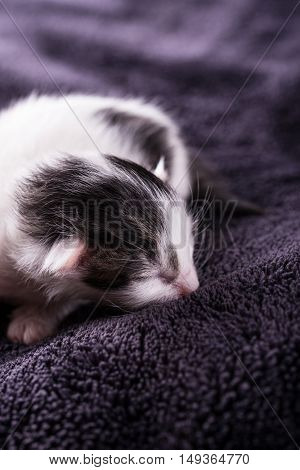One Day Old White-black Cat Rests On Blanket