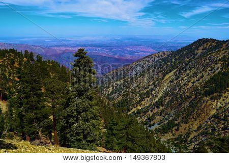 Pine Tree Forest ona mountain range with the Mojave Desert beyond taken in Mt Baldy, CA