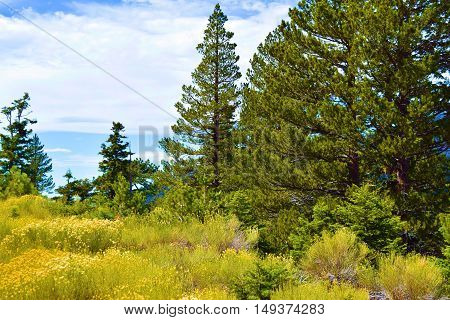 Meadow with Sage Plant Flower Blossoms surrounded by a Pine Tree Forest taken in Mt Baldy, CA
