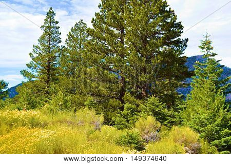 Meadow of Sage Plant Flowers surrounded by a Pine Tree Forest taken in Mt Baldy, CA