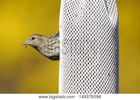 Pine Siskin (Carduelis pinus) eating black thistle on a feeder