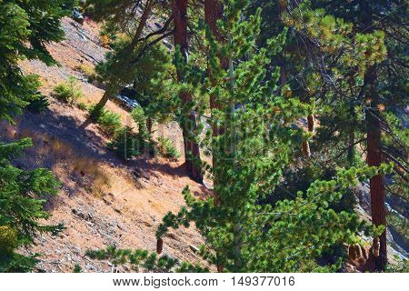Pine Tree Forest with pinecones taken on a mountain ridge in Mt Baldy, CA