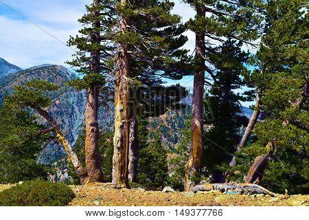 Pine Tree forest on a mountain ridge taken in Mt Baldy, CA