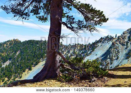 High altitude Pine Trees on a mountain ridge taken in Mt Baldy, CA