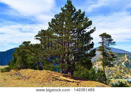 Pine Tree Forest taken on a mountain ridge taken in Mt Baldy, CA