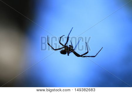 Marbled Orb Weaver Spider male on web in early fall