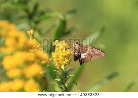 Silver Spotted Skipper Butterfly in early fall