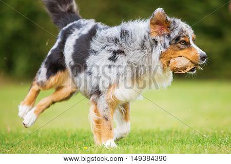 Dog Runs For A Food Bag