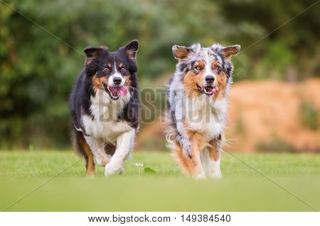 Two Dogs Running On The Meadow