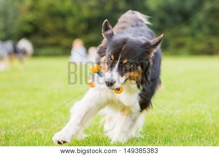 Australian Shepherd Dog Running With A Toy