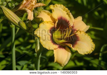 yellow daylily flower with buds on a background of green leaves