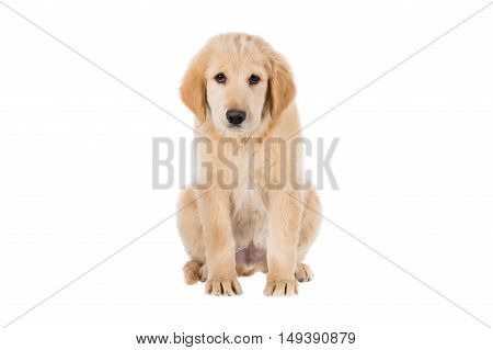Sad Golden Retriever sitting front view isolated on white background