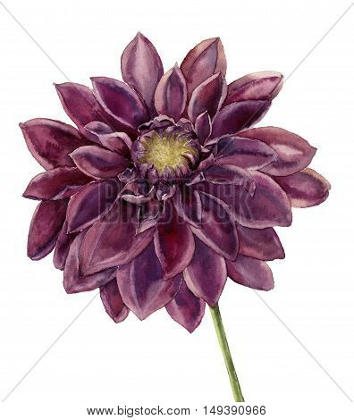 Watercolor dahlia flower. Hand painted autumn floral illustration isolated on white background. Botanical illustration for design.