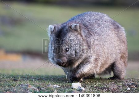 A wombat approaches over grassland, eyes and claws visible. This is one of many species of wildlife that thrives on Maria Island National Park, Tasmania.