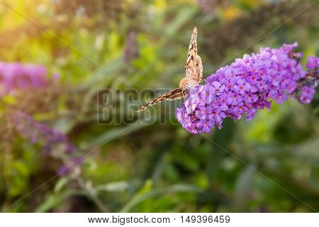 Painted Lady butterfly Vanessa cardui feeding on nectar from buddleia flower lit by afternoon sun.