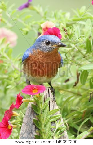 Male Eastern Bluebird (Sialia sialis) on a fence with flowers