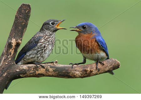 Male Eastern Bluebird (Sialia sialis) with his baby