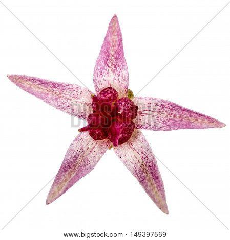 Flower of stonecrop close-up lat. Sedum spectabile isolated on white background
