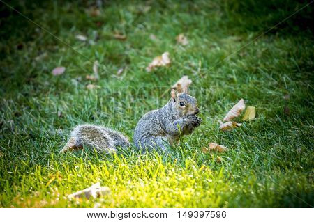 Cute squirrel feeds on acorn. A cute little squirrel holds an acorn in its paws.
