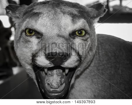 black and white close up head shot of a cougar with green eyes