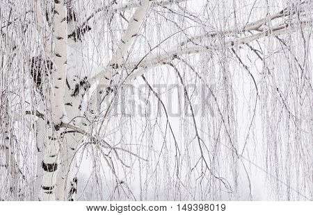 horizontal close up image of a winter scene  of  a white bark tree trunk of a weeping willow on one side of the image with its leaves drooping over to the other side of the image