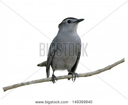 Gray Catbird Perching on a branch isolated on white background