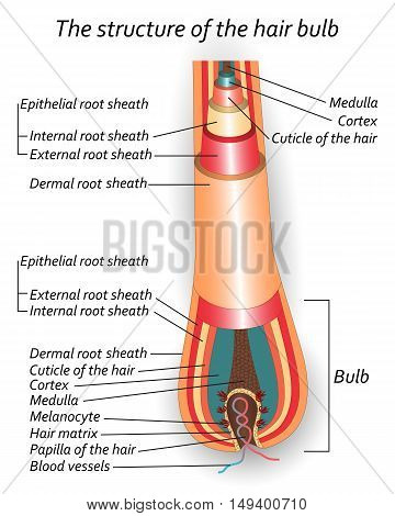The structure of the hair bulb anatomical training poster. Vector illustration.