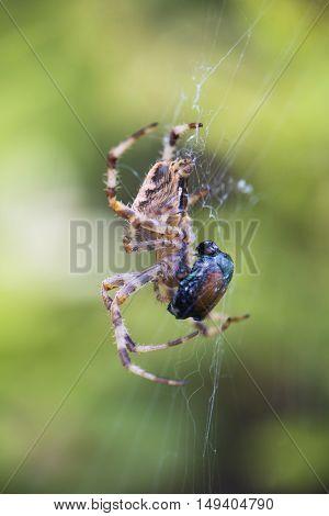 Macro shot of Cross Orbweaver spider (Araneus diadematus) aka European Garden Spider, Cross Spider, Diadem Spider
