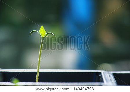 Macro detail of tiny marijuana plant growing from the seed