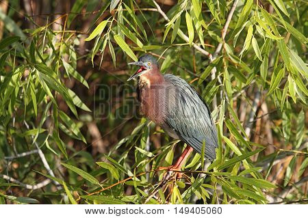 Green Heron (Butorides virescens) in the Florida Everglades