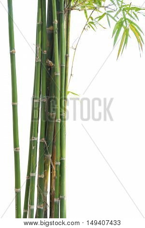 Fresh bamboo green isolated on white background. Tree object for design