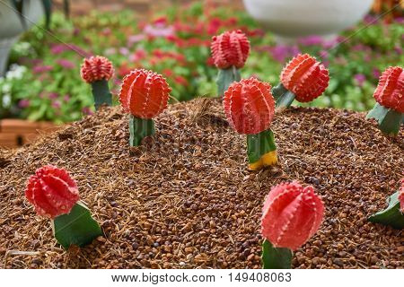 Close up picture of Grafted cacti. Colorful gymnastically cactus garden.