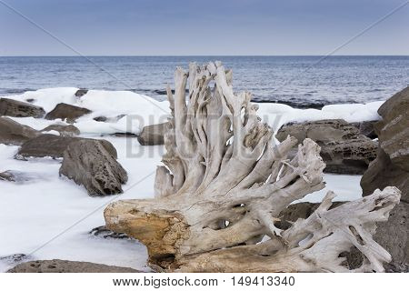 snag in the rocks with snow on the seashore