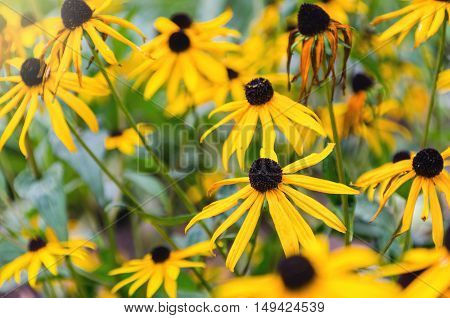 Rudbeckia flowers commonly called coneflowers and black-eyed-susans Rudbeckia hirta in the garden. Natural scene.